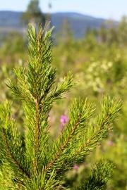 Lodgepole Pine seedling