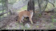 Momma Cougar