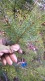 Adelges cooleyi maturing on a Douglas-fir host