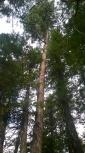 A rare (for us) Ponderosa Pine!