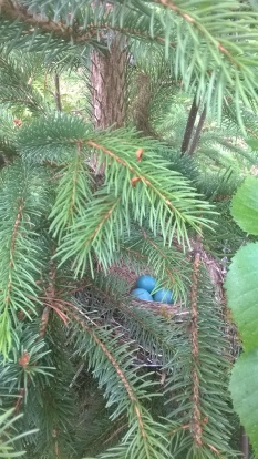 Robin nest in a Douglas-fir