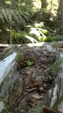 Douglas fir seedling growing on a nurse log