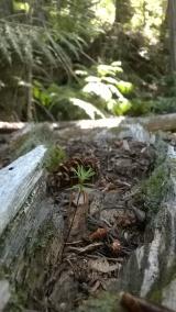 Douglas fir seedling growing on a nurse log