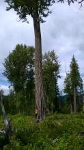 Cottonwood Wildlife Tree