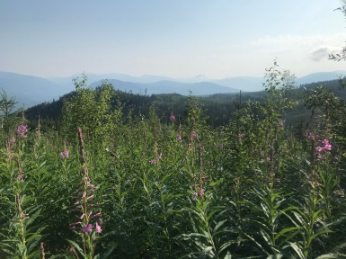 looking out over the fireweed
